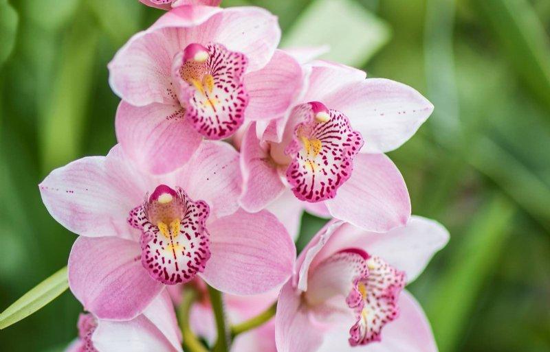 Roze is een van de gekweekte kleuren cymbidiums bij Star Orchids in 's-Gravenzande.