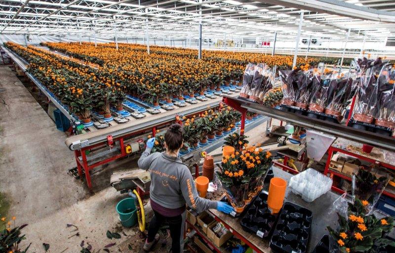 Een medewerkster van Kwekerij Tass in Wateringen bij de inpakafdeling met oranje potten.