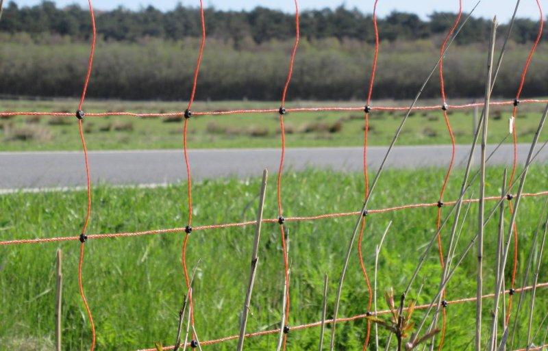 Melkveehouders op Ameland plaatsten een schapennet tussen het natuurgebied en hun graspercelen om de ganzen te weren. Foto: Anne de Jong