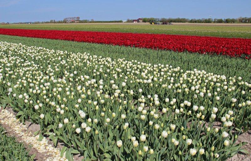 Het bedrijf M.C. Zonneveld in Julianadorp teelt ongeveer 75 hectare bloembollen.