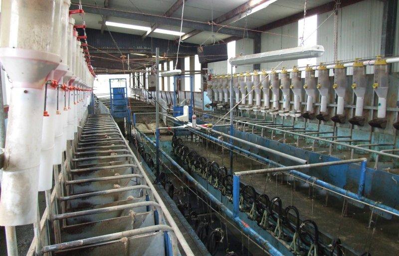 De melkstal kan per keer 48 melkschapen verwerken.