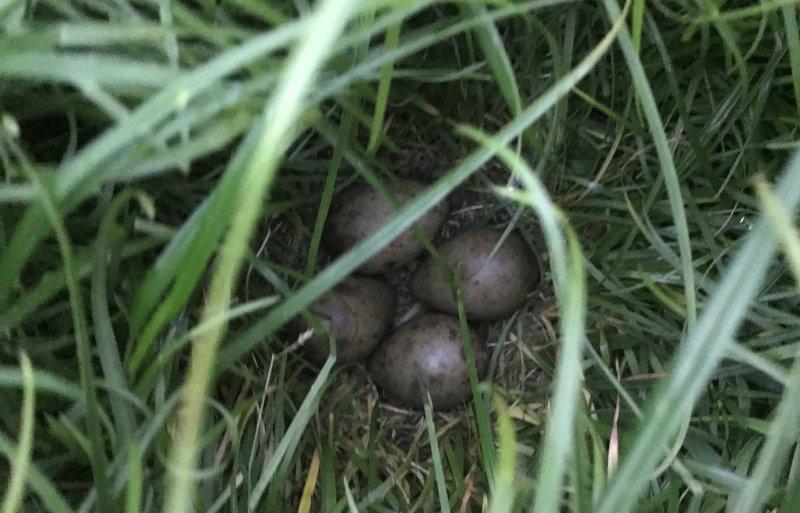 Woensdagochtend vond De Wit het nest van een grutto.