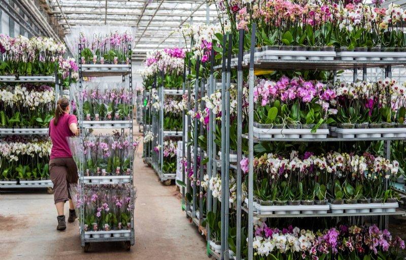 Phalaenopsis-orchideeën in de kassen van Aardse Orchids in Zuidbroek.