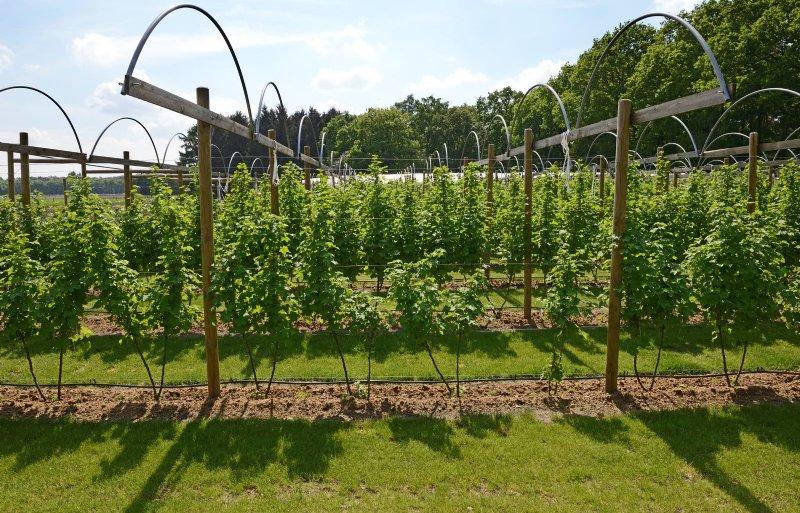 Op het veld van 0,6 hectare staan 45 soorten kleinfruit.
