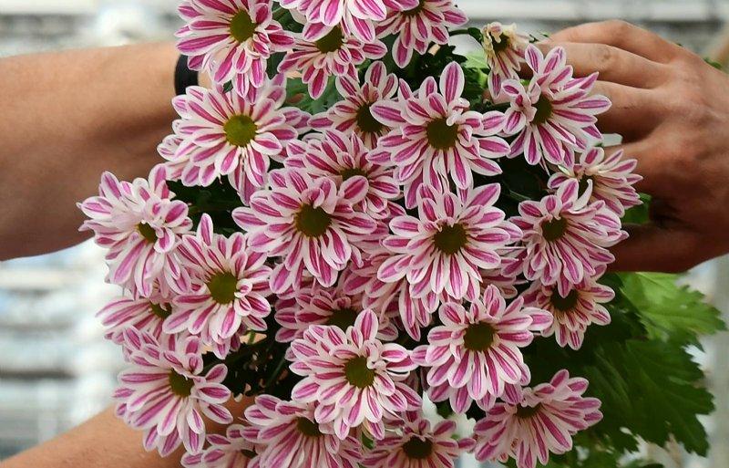 Stripy heeft roze bloemblad, witte randen en groen hart.