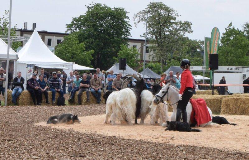 Voorafgaand aan de machinedemonstratie tonen vier schaapshonden hoe zij landgeiten over een paard kunnen laten springen.