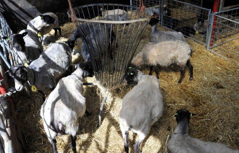 Het Gotlandpelsschaap levert vlees, wol én pels.