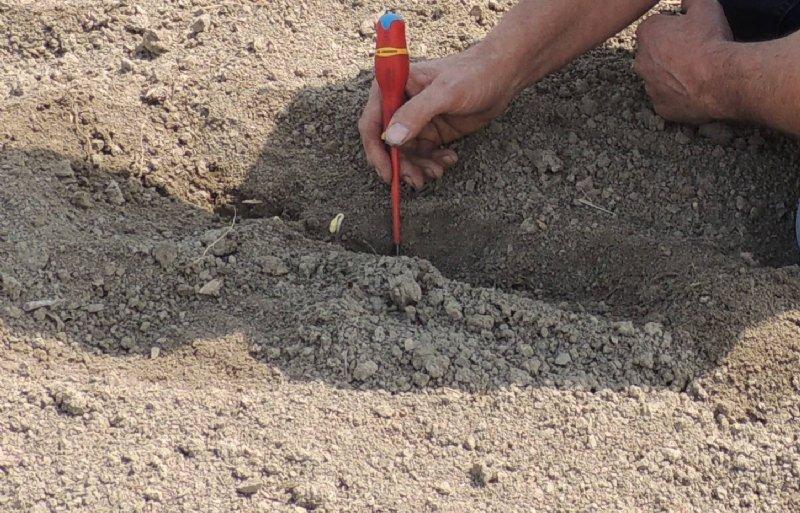 Sojateler Bram Kools uit Cadzand zaaide op 6 centimeter diep vanwege de droogte.