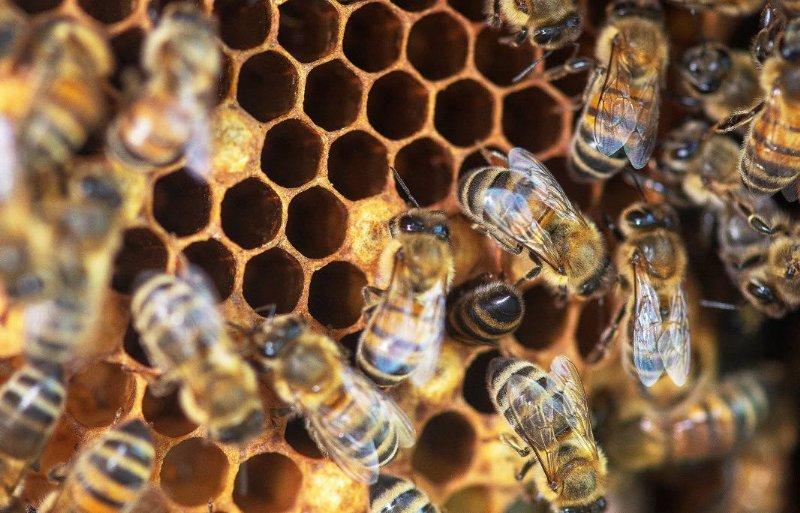Ecopoll werkt vooral met buckfastbijen.