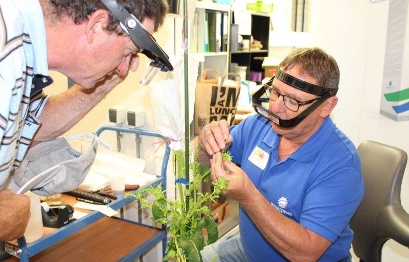 Medewerker André Schriek van SES VanderHave demonstreert bij suikerbieten  de kruising van een moederplant met stuifmeel van een vaderlijn.