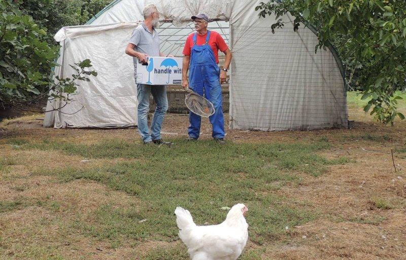 Pluimveehouder Geert van der Kaa uit Hoeven ving twee kippen voor klanten uit Almelo.