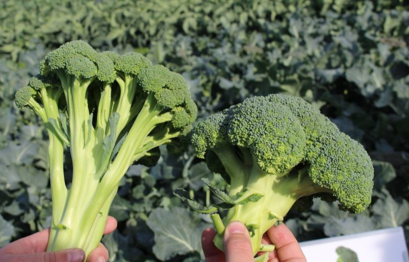 Het verschil tussen roosbroccoli (links) en standaard broccoli.