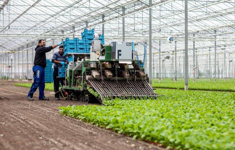 De oogst van radijs met een bosmachine.
