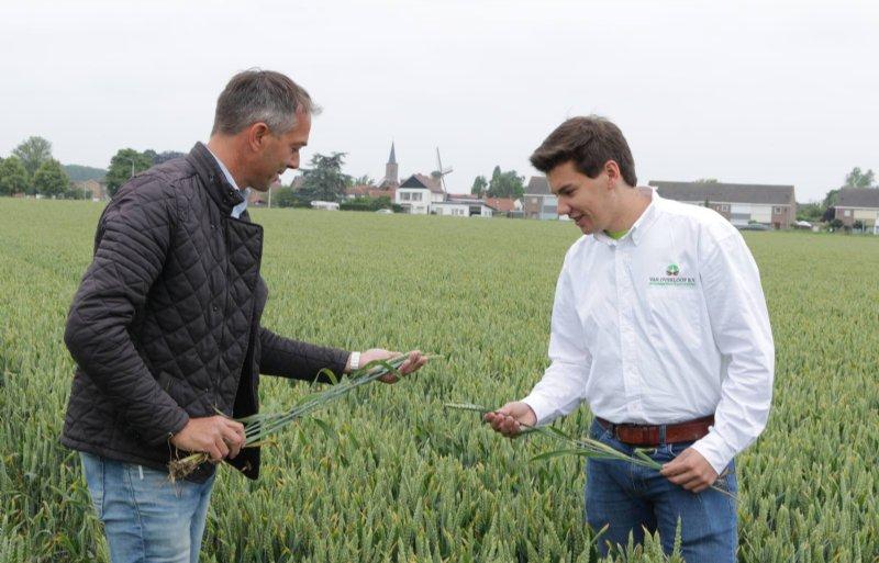 Mario Riemens (links) en stagiair Frederik van Bellegem beoordelen de tarwe van Henk Riemens.