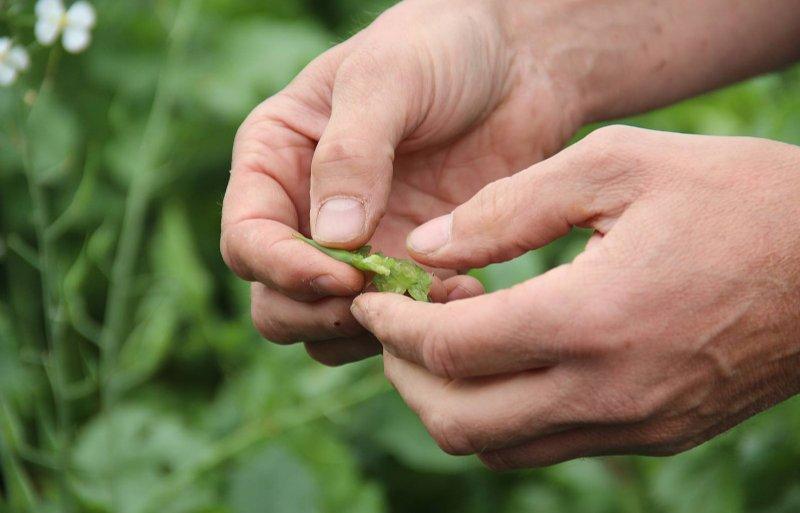 De zaden van de bladrammenas zijn nog lang niet rijp.