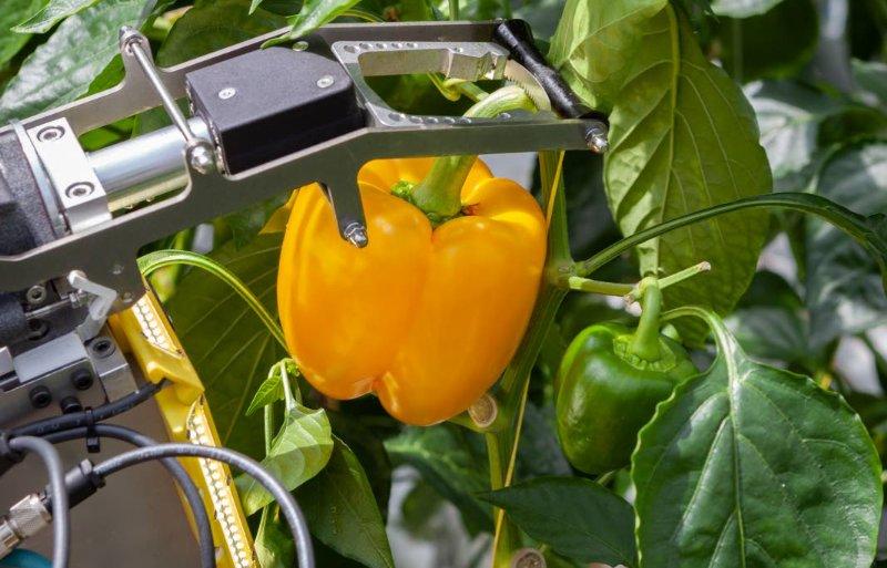 De plukrobot snijdt de paprika af en pakt hem vast.
