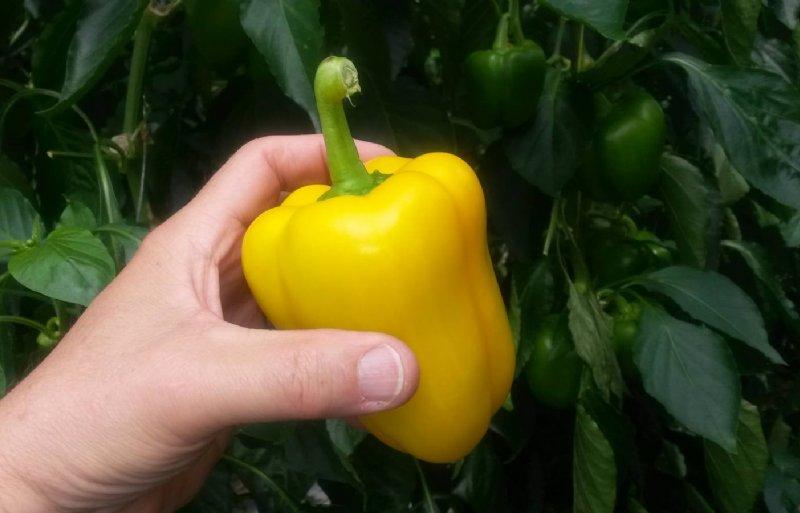 Een ideale paprika qua vorm en kleur voor de plukrobot.
