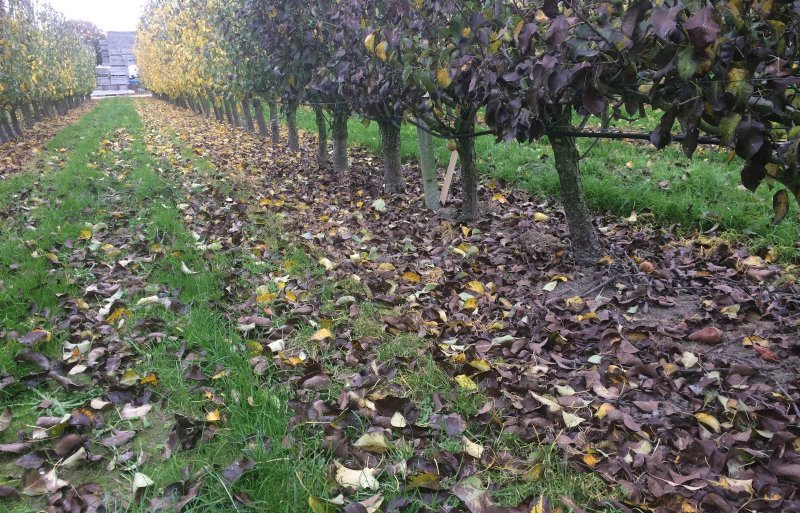 Aan de met spuiwater behandelde bomen kleuren de bladeren al snel zwart.