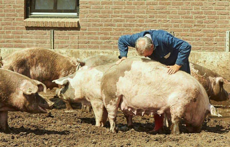 De geur van een varkenshuid is nauwelijks te onderscheiden van die van een mens, volgens Smulders en Schell.
