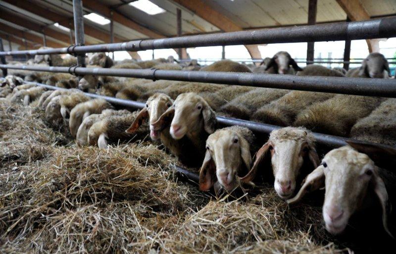 De melkschapen zijn van het Spaanse ras Assaf