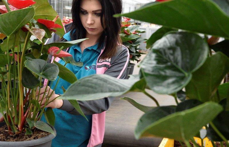 Planten worden klaargemaakt voor de veiling.