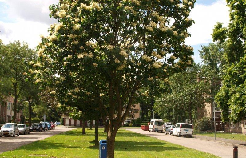 De boomsering bloeit laat, in juni en juli.
