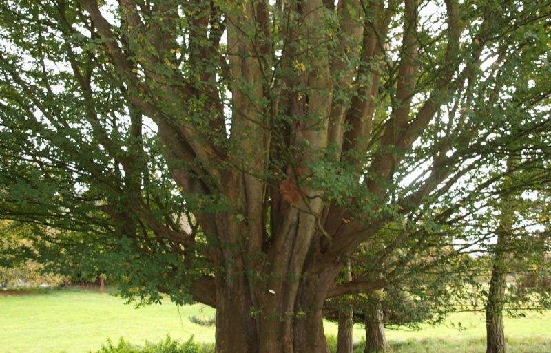 Kaukasische schijniep is een boom die goed tegen droge hitte kan.