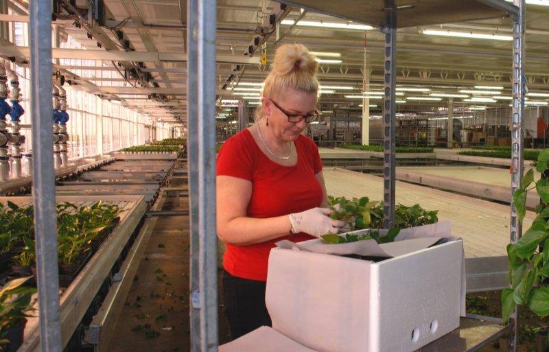 Anthura kweekt plantmateriaal met een lange houdbaarheid.