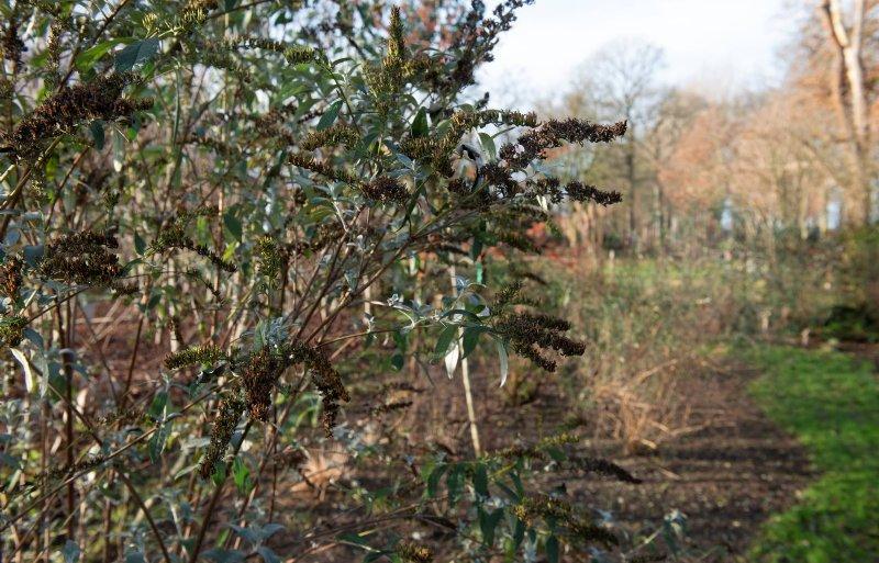 Dependens kweekt honderd soorten Buddleja.