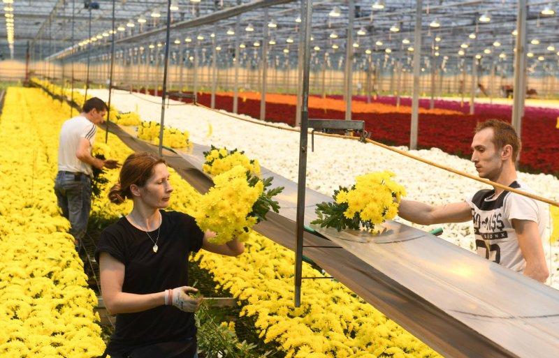 Kiep Flower produceert 33 miljoen chrysanten per jaar.