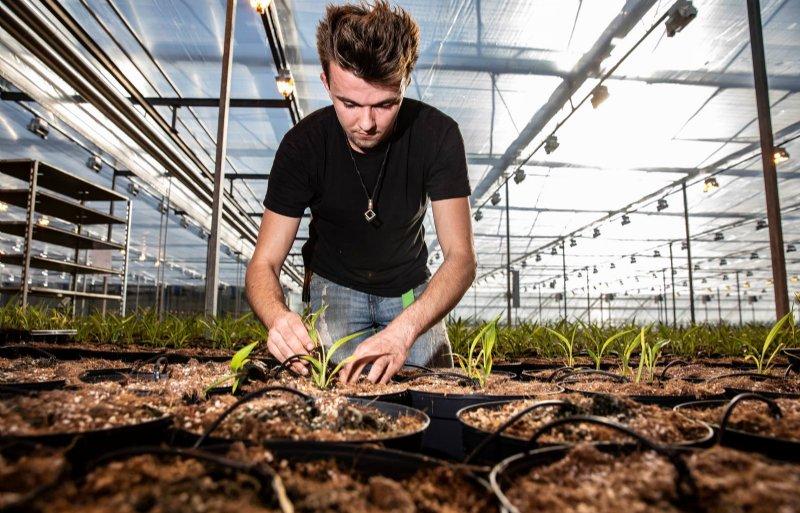 Het kweken van de curcumabloemen is arbeidsintensief.