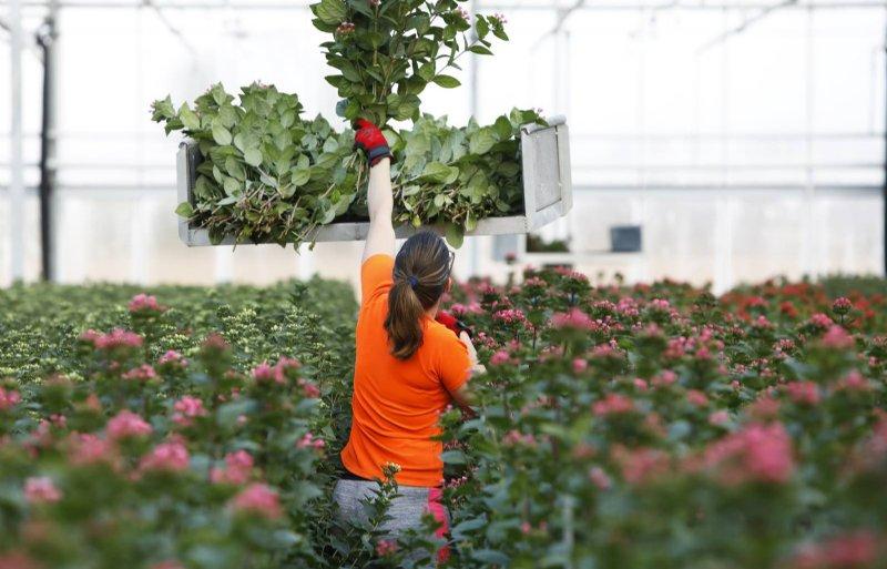 Een plant levert vier tot vijf keer per jaar bloemen op.