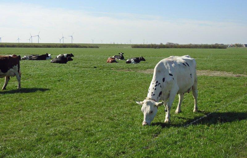De koeien grazen op 102 hectare grond.