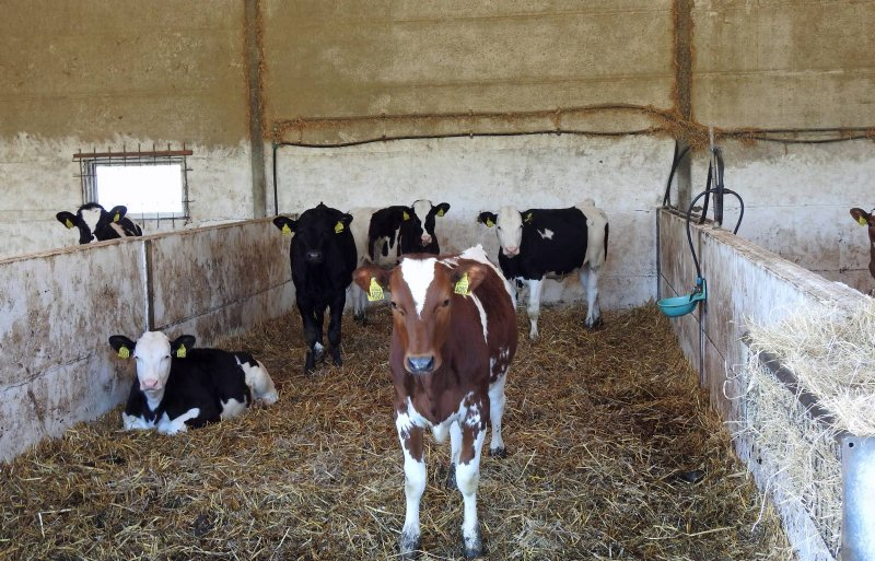 De Hoop kruist Holstein, Viking Red en Montbéliarde.