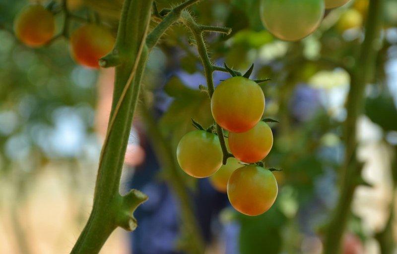 In Wageningen hielden sensoren de cherrytomaten in de gaten.