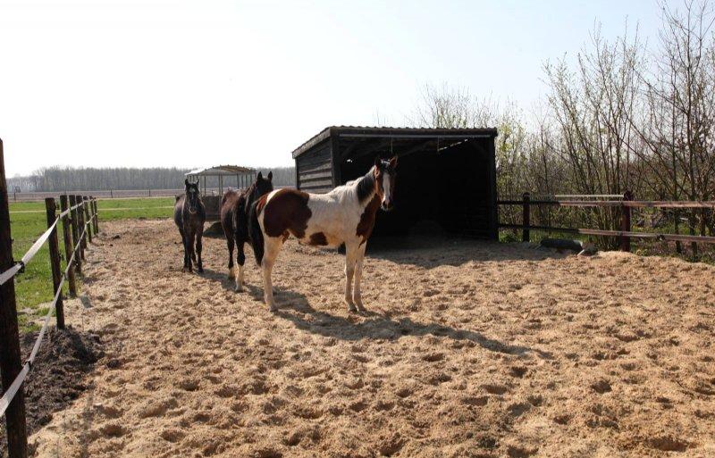 Jonge paarden in de paddock met schuilstal.