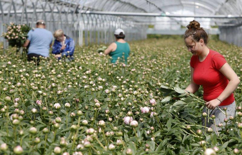 Poolse arbeidsmigranten oogsten van pioenrozen in het Betuwse Slijk-Ewijk.