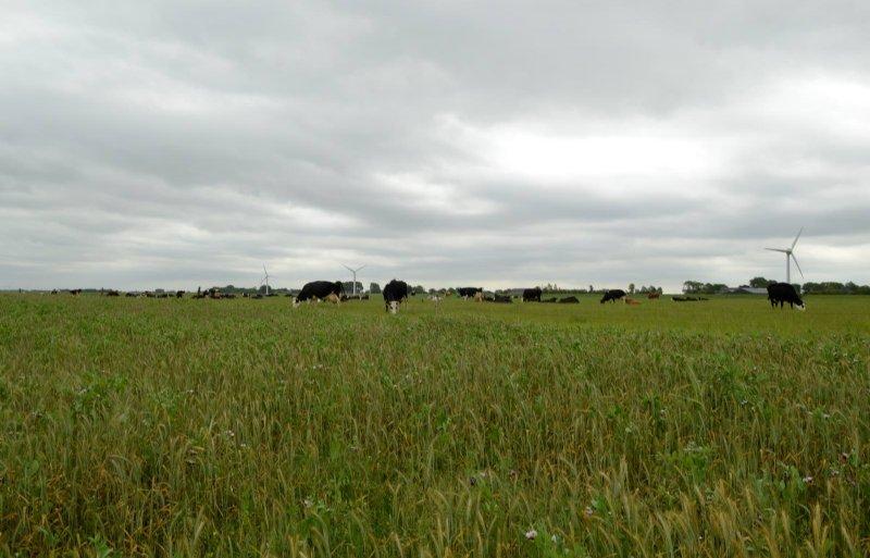 De veestapel naast een perceel triticale en veldbonen.