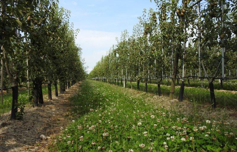 In de paden tussen de appel- en perenbomen groeit volop klaver.