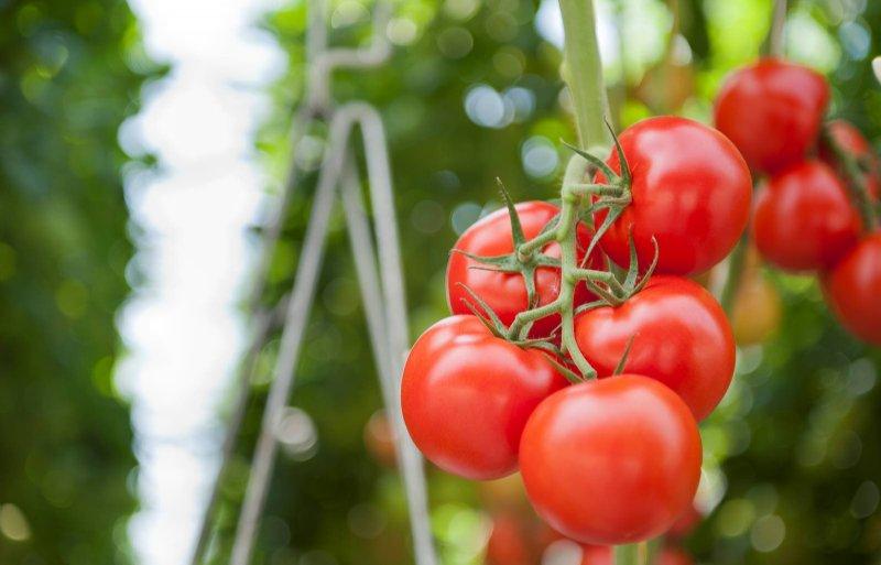 De tomaten hangen aan de tros tot ze allemaal rood zijn.