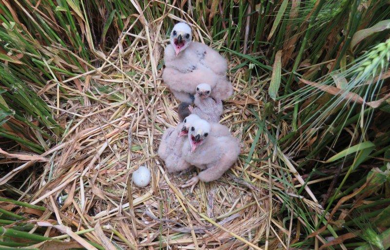 Nest buirne kuikendieven.