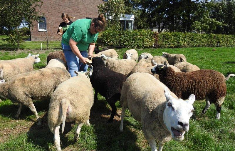 De familie Dekker houdt ook schapen.