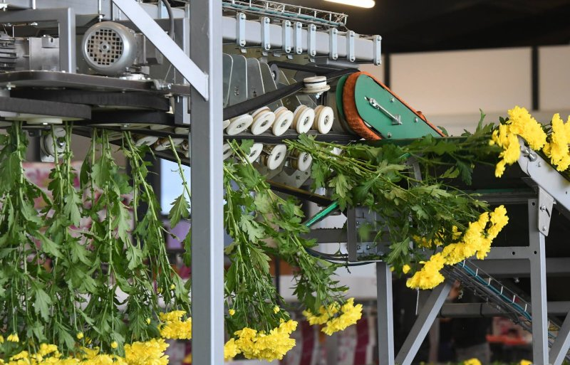 Chrysanten in de machine die sorteert op bloemgrootte.