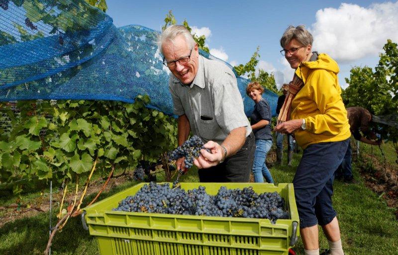 Vrijwilligers helpen mee met de pluk van de druiven.