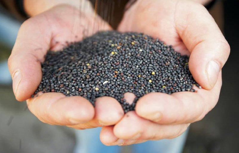 Uit de kernen van de koolzaadjes laat Colzaco in Ibbenbüren olie persen.