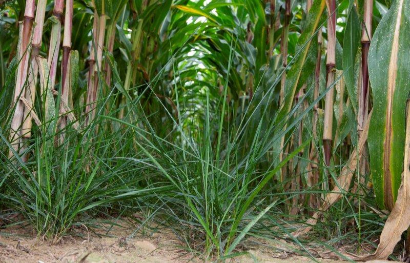 Onderzaai: als de mais op kniehoogte staat, gaat het vanggewas de grond in.