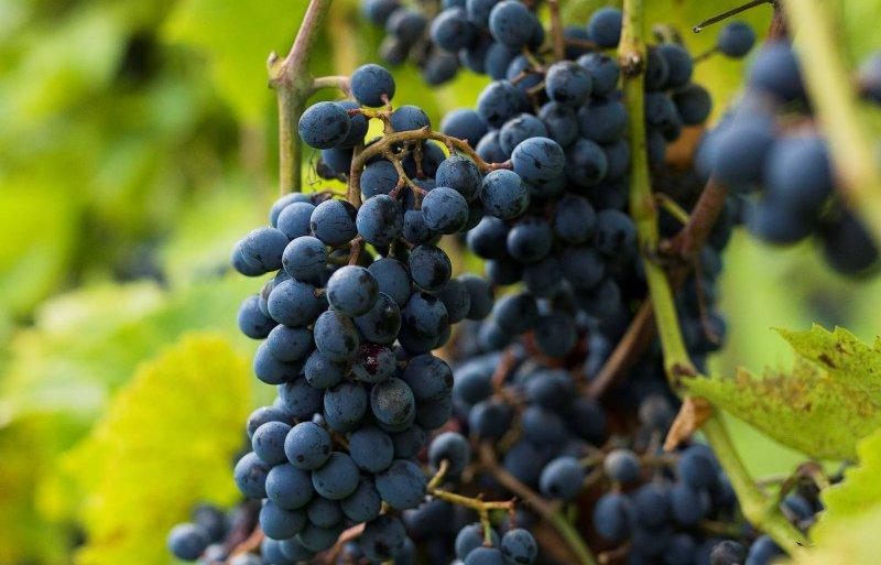De oogst is van half september tot eind oktober.
