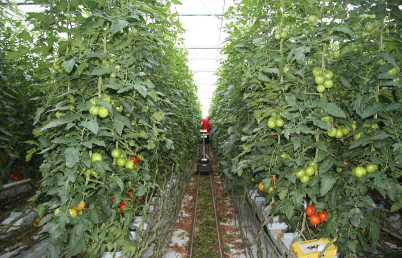 Reststromen uit de tomatenteelt zijn bruikbaar als basis voor isolatiemateriaal.