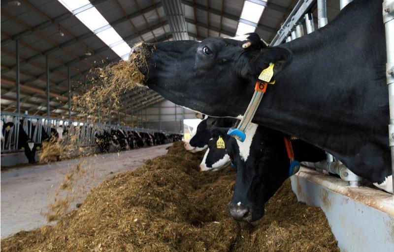 Met aangepaste voeding wil landbouwminister Carola Schouten de stikstofemissie van melkvee terugdringen.