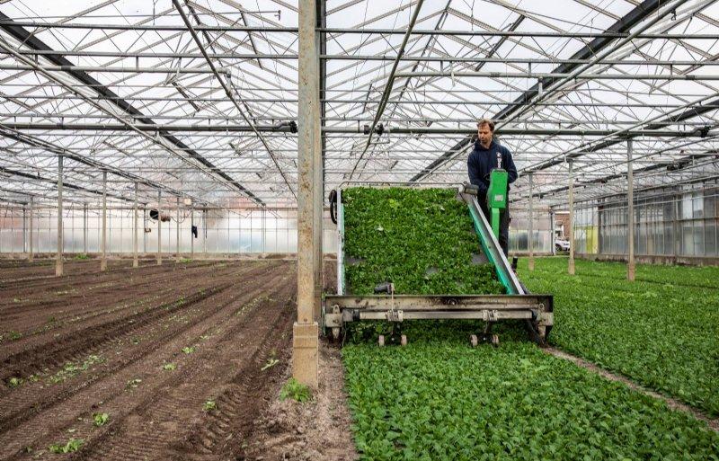Voor het machinaal oogsten moet de grond vlak zijn.